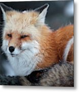 A Red Fox  On The Summit Of Mt Metal Print