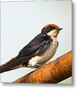 A Wire-tailed Swallow Perching Metal Print