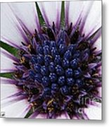African Daisy Named Soprano White Metal Print