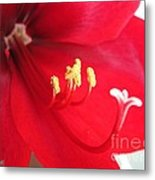 Amaryllis Named Black Pearl Metal Print