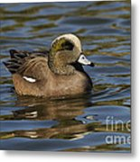 American Widgeon Metal Print