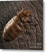 Bedbug Cimex Lectularius Metal Print