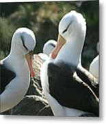 Black Browed Albatross Pair Metal Print