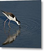 Black Necked Stilt Metal Print