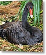 Black Swan At Nest Metal Print