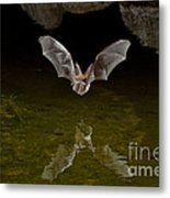 California Leaf-nosed Bat At Pond Metal Print