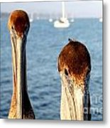 California Pelicans Metal Print