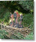 Cedar Waxwings Metal Print by Linda Freshwaters Arndt