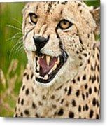 Cheetah Acinonyx Jubatus Big Cat  Metal Print