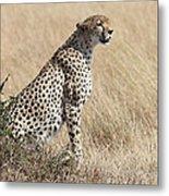 Cheetah Searching For Prey Metal Print