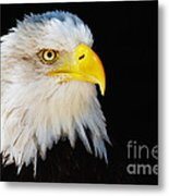 Closeup Portrait Of An American Bald Eagle Metal Print