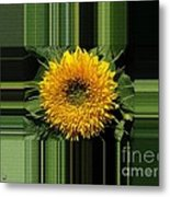 Dwarf Sunflower Named Teddy Bear Metal Print