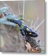 Fire Salamander - Salamandra Salamandra Metal Print