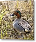 Greenwing Teal Metal Print