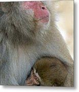Japanese Macaques Metal Print
