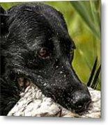 Labrador Retriever Metal Print