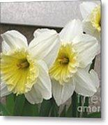 Large-cupped Daffodil Named Ice Follies Metal Print
