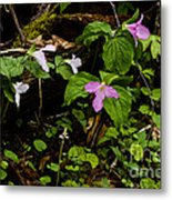 Large Flowered Trillium  Metal Print