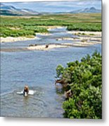 4-lay Of The Land Many Grizzly Bears In Moraine River In Katmai National Metal Print