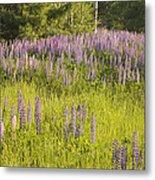 Maine Wild Lupine Flowers Metal Print