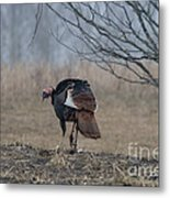 Male Eastern Wild Turkey Metal Print