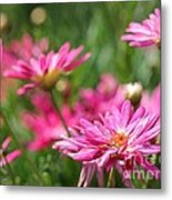 Marguerite Daisy Named Summer Song Rose Metal Print