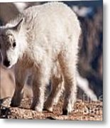 Mountain Goat Kid On Mount Evans Metal Print