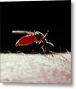 Northern House Mosquito Metal Print