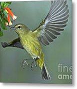 Orange-crowned Warbler Metal Print
