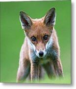 Red Fox Cub Portrait Metal Print
