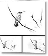Ruby-throated Hummingbird - Immature Female - Black And White - Archilochus Colubris  Metal Print