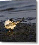 Sandwich Tern Metal Print