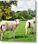 Sheep In Field Metal Print