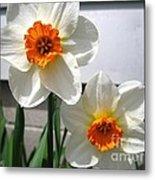 Small-cupped Daffodil Named Barrett Browning Metal Print