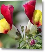 Snapdragon Named Floral Showers Red And Yellow Bicolour Metal Print