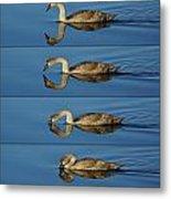 4 Swan Metal Print