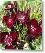 Sweet William Named Sooty Metal Print