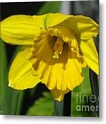 Trumpet Daffodil Named Exception Metal Print