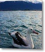 Wandering Albatross Metal Print