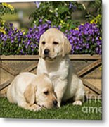 Yellow Labrador Puppies Metal Print