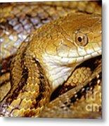 Yellow Rat Snake Metal Print