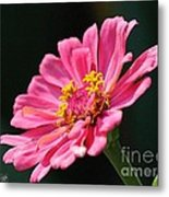 Zinnia From The Whirlygig Mix Metal Print
