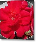 Zonal Geranium Named Candy Cherry Metal Print