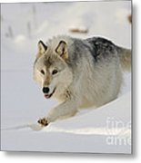 Wolf In Winter Metal Print