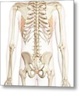 Human Back Muscles Metal Print