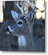 8 Point Buck Metal Print