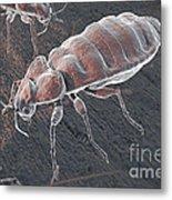 Bed Bugs Cimex Lectularius Metal Print