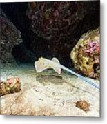 Bluespotted Stingray And Tropical Reef In The Red Sea. Metal Print