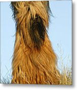 Briard Dog Metal Print