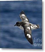 Cape Petrel Metal Print